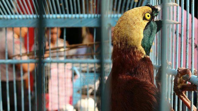 Puluhan burung endemik wilayah Wallacea hingga Papua kini terancam punah karena perburuan liar. Ekowisata birdwatching bisa jadi opsi untuk mengatasinya.