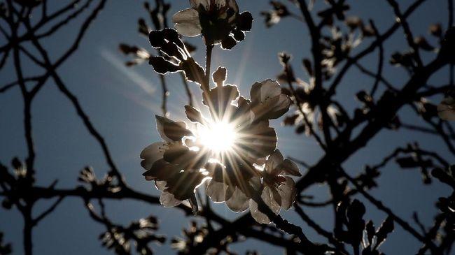 Musim bunga di Negeri Matahari Terbit ini tidak berhenti di Bunga Sakura saja.