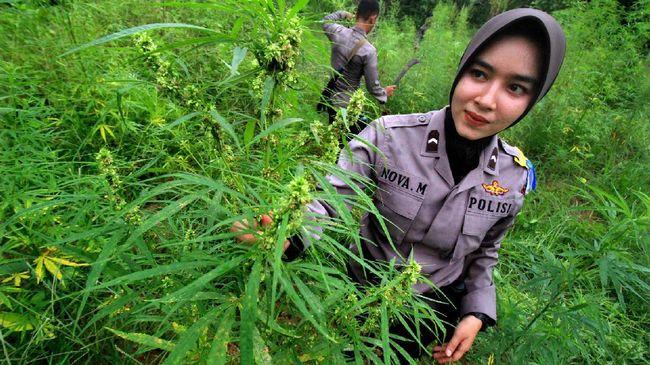Ladang Ganja Di Aceh Bakal Disulap Jadi Objek Wisata