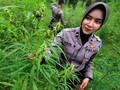 BNN Hendak Hapus Citra Ganja dari Aceh