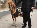 Bandara di AS Gunakan Kuda Poni untuk Redam Kecemasan Terbang