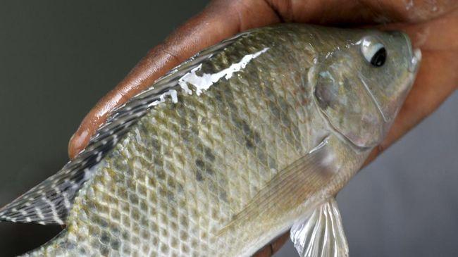 Sebagai pembudidaya ikan di Jatiluhur, Anto tak tahu pasti penyakit yang menimpa ikan nila, termasuk peringatan akan wabah Virus Tilapia yang kini melanda.