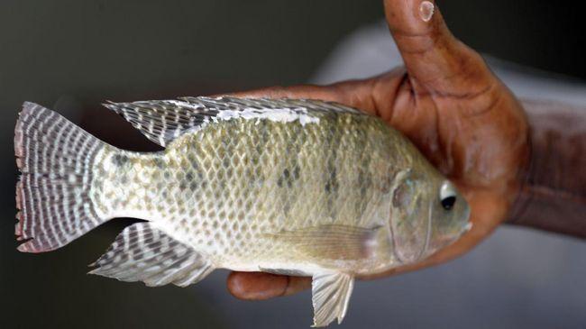 Waspadai Bahaya Tersembunyi Mengonsumsi Ikan Nila