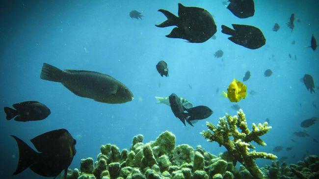 Sejumlah ikan berenang di perairan Labuan Bajo, Jumat (5/5). ANTARA FOTO/Muhammad Adimaja/17.