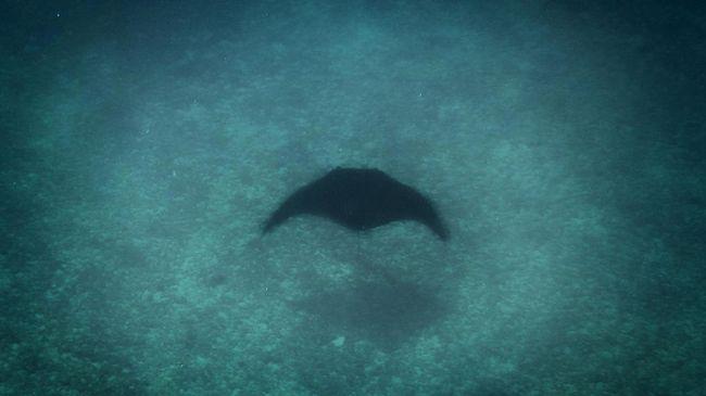 Mata Tertusuk Ikan Pari Minta Pertolongan Ke Penyelam
