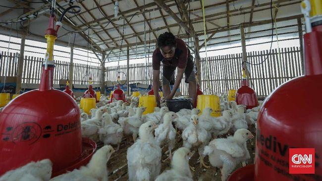 Kementerian Pertanian (Kementan) meminta pembibit ayam melakukan afkir Parent Stock (PS) ayam ras broiler yang berumur di atas 68 minggu.