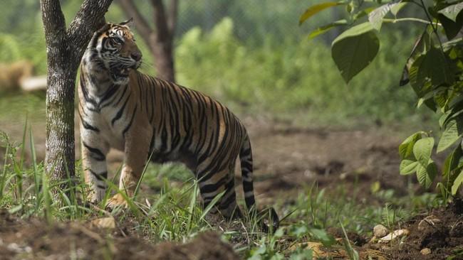 Harimau Rebah di Jalanan Sumbar Diusir dengan Bunyi Tembakan