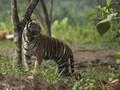 'Melati' Mati Diterkam Harimau Sumatera di Bonbin London