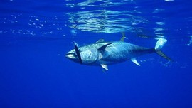 Peran Getah Bening pada Sirip Ikan Tuna