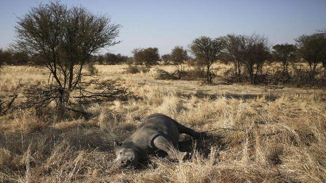 Tinggal lima ras badak yang tersisa di dunia. Perburuan dan kematian akibat perubahan alam yang tak lagi ramah menghantui ratusan ekor yang tersisa.
