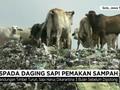 VIDEO: Waspada Daging Sapi Pemakan Sampah