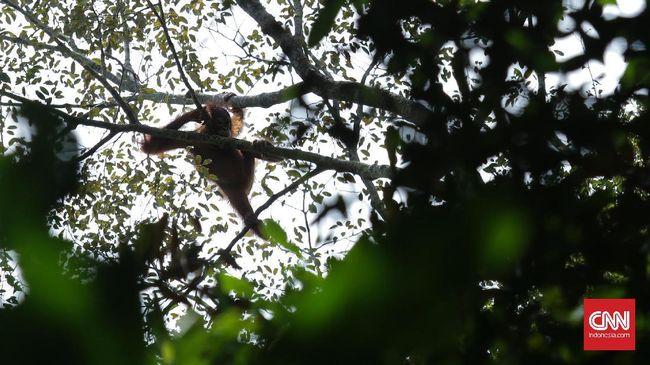 Butuh Rp16 Triliun Untuk Sediakan Habitat Alam Orangutan