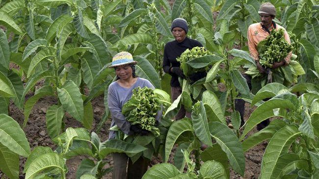 Daya Beli Buruh Tani Loyo Tertekan Inflasi Pedesaan