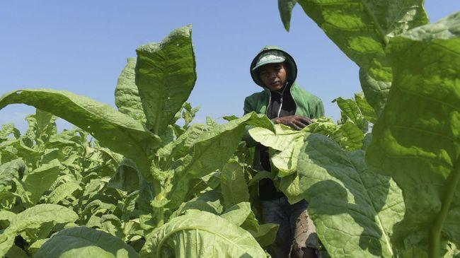 Para peneliti University of Illinois melakukan penelitian untuk memodifikasi tanaman secara genetik.