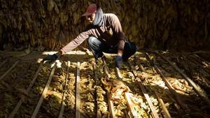 Peneliti Temukan Tembakau Tertua, Usia 12 Ribu Tahun
