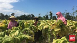Tarif Cukai Ancam Keberadaan 5 Juta Pekerja Tembakau