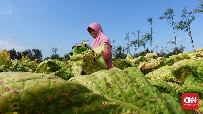 Petani tembakau menyurati Jokowi, meminta agar kenaikan tarif cukai tembakau bisa diturunkan dari yang awalnya 23 persen menjadi 7 sampai 11 persen saja.