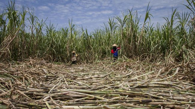 Menteri BUMN Erick Thohir menugaskan PTPN memberikan bibit tebu berkualitas ke petani. Ia minta petani lapor kepadanya bila PTPN tak memberikan bibit itu.