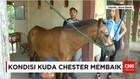 Sekitar Dua Minggu Kuda Chester Jalani Perawatan