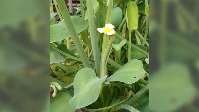 Lagu Genjer-genjer identik dengan PKI. Namun pada kenyataannya, genjer adalah sejenis gulma yang bisa dimanfaatkan sebagai makanan.