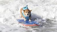 FOTO: Aksi Menggemaskan Anjing Berselancar di California