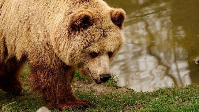 Sejumlah pemburu terpaksa menembak mati seekor beruang cokelat yang masuk ke Kota Sapporo di utara Jepang karena mengamuk.
