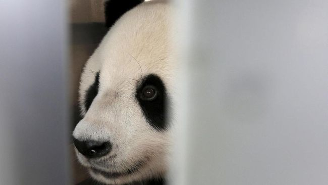Warga Indonesia tak perlu jauh-jauh keluar negeri untuk melihat panda. China sudah meminjamkan pandanya ke RI dengan sejumlah persyaratan yang harus dipenuhi.