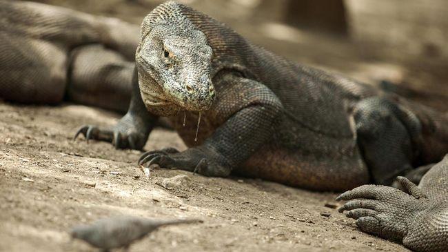Walhi menilai proses pembangunan Jurassic Park di Pulau Rinca, NTT mengganggu dan mengancam ekosistem komodo sebagai salah satu satwa langka yang dilindungi.
