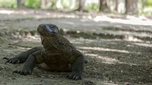 Foto Komodo-Truk Viral, Walhi Kritik 'Jurassic Park' NTT