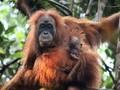 Spesies Orangutan Baru Ditemukan di Batang Toru Tapsel