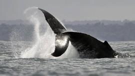 7 Migrasi Hewan Laut Paling Mengesankan di Dunia