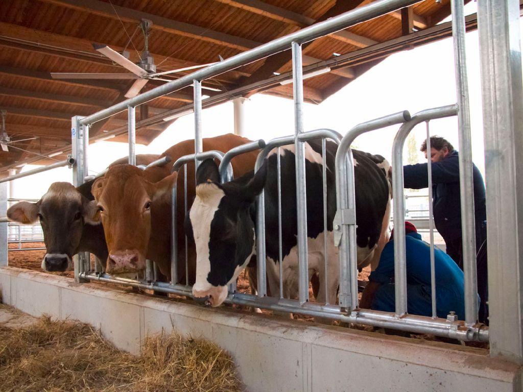 Berbagai hewan ternak ada di Eataly World. Salah satunya sapi yang susu hasil perahannya langsung dijual di sana. Foto: Istimewa