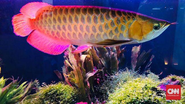 Berikut jenis ikan hias air tawar langka namun banyak diburu lantaran memiliki bentuk yang unik dengan corak warna yang indah.