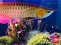 6 Fakta Ikan Arwana yang Punya Nilai Jual Tinggi