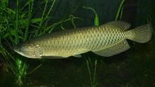 Daftar 20 Ikan Bersirip Dilindungi: Ada Arwana Irian