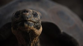 Misi Mulia Diego, Kura-kura Playboy yang Kebanyakan Bercinta