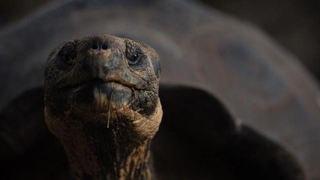 Diego, kura-kura berusia 100 tahun disebut kura-kura playboy karena terlalu banyak bercinta, namun dia justru jadi penyelamat spesiesnya.