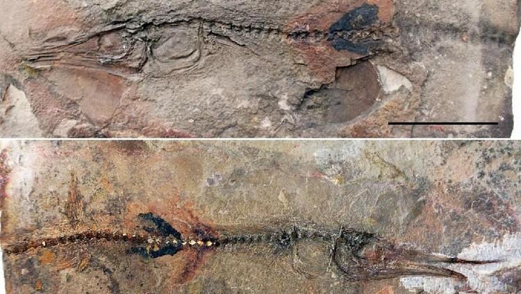 Sedang asyik berjalan-jalan, tak sengaja bocah ini menemukan fosil spesies ikan langka.