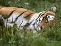 FOTO: Raung Merintih si 'Kucing Besar'