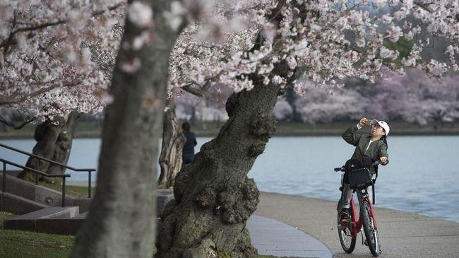 Diperkirakan bunga sakura akan mulai berbunga di Tokyo pada 15 Maret dan mekar sempurna pada 23 Maret.