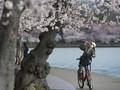 Tahun Ini Bunga Sakura di Jepang Mekar Lebih Awal