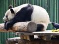 Alasan Ada Panda China di Banyak Kebun Binatang Dunia