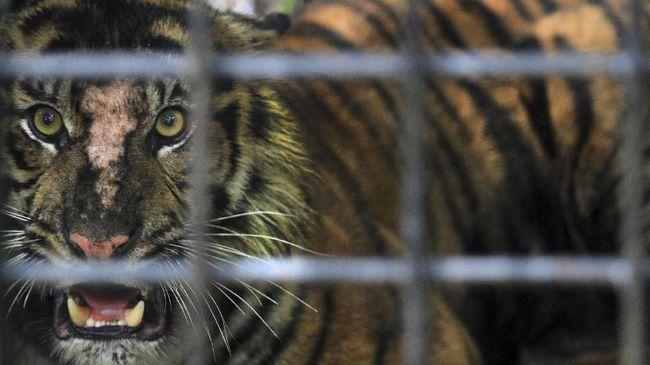 Ketua Adat di Pagar Alam, Sumsel, Alam Budiono menyebut para pendatang merusak areal hutan lindung, memicu harimau masuk ke permukiman warga.