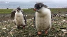 Ada La Nina dan Corona, Jumlah Penguin Galapagos Capai Rekor