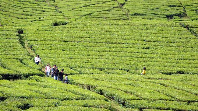 Bukan cuma di Indonesia, ada beragam perkebunan teh yang juga dibuka sebagai destinasi wisata di penjuru dunia.