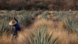 FOTO: Menyingkap Proses Pembuatan Tequila di Meksiko