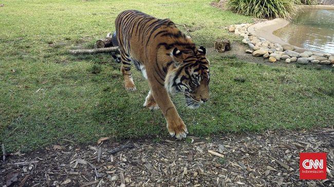 Seekor harimau tiba-tiba datang ke tengah perkemahan, merobek tenda, dan menyerang korban di Taman Wisata Gunung Dempo, Sumsel.