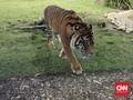 Serangan Harimau di Sumsel Diduga Akibat Perburuan