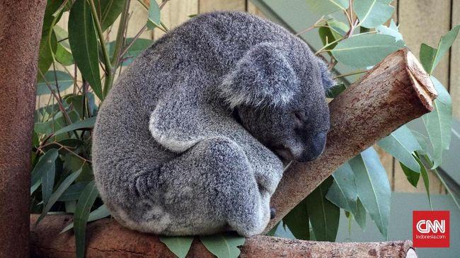 Koala Di Kebun Binatang Indonesia