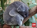 Populasi Koala Merosot Terdesak Karhutla dan Perambahan Lahan